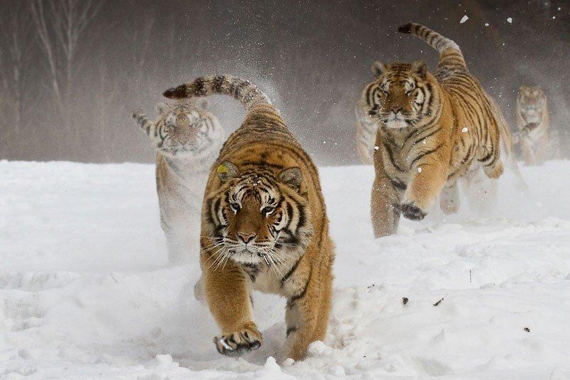老虎2013索尼世界摄影奖作品