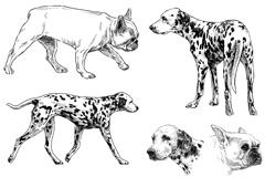 手绘大麦町犬与斗牛犬矢量素材