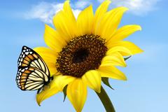向日葵与蝴蝶插画矢量素材