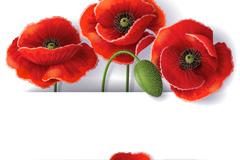 美丽罂粟花背景矢量素材