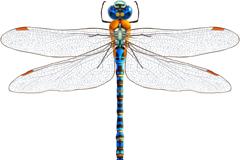 蓝色蜻蜓设计矢量素材