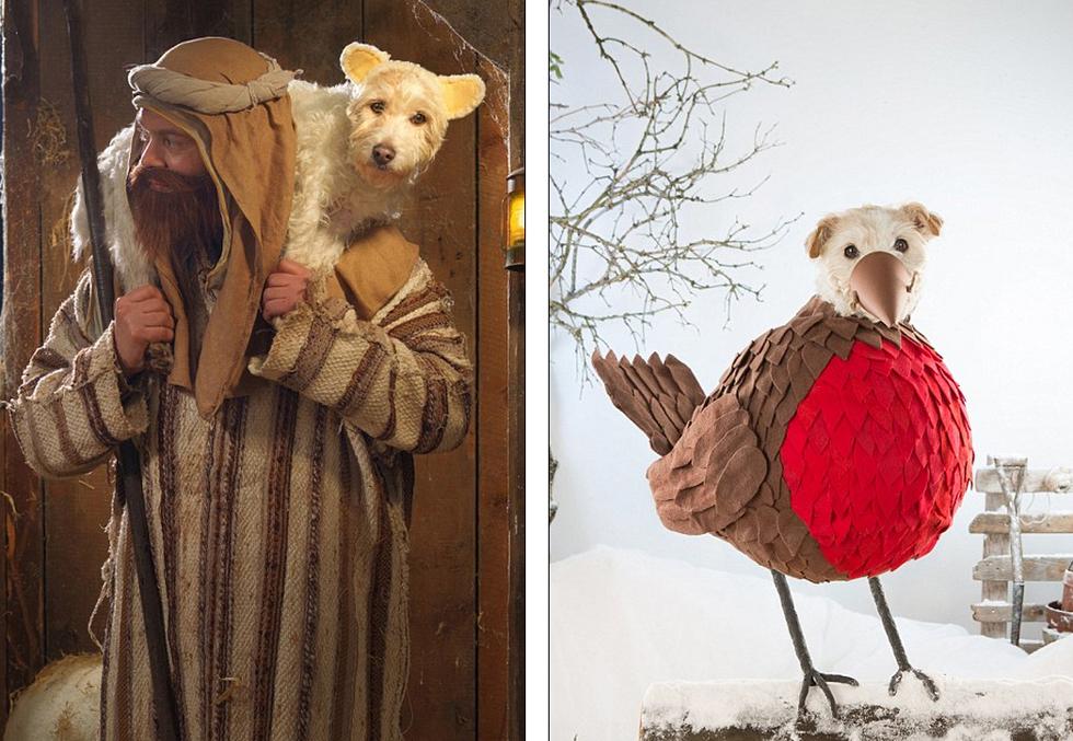 英国小猎犬搞笑扮演圣诞卡中角色走红