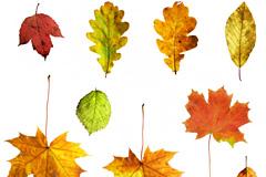 9个秋天树叶图片素材
