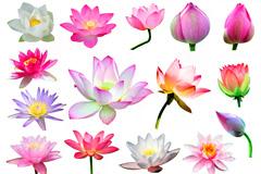 21种荷花莲花图片素材