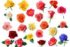 24朵�t�S粉色玫瑰花�D片素材