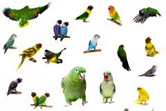 27种鹦鹉高清图片素材