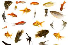 33种金鱼热带鱼高清图片