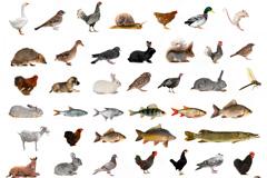 48种家禽鱼类与鸟类动物高清图片