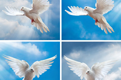 6款蓝天下展翅白鸽高清图片