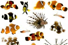小丑鱼和狮子鱼高清图片素材