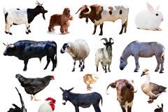 17种家禽家畜动物高清图片