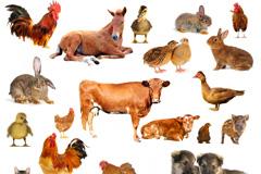 19种常见家畜家禽动物高清图片