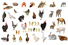 35种常见家禽鱼虾类动物高清图片