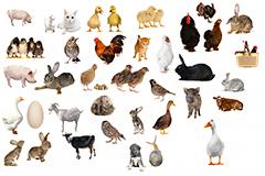35种家庭常见家畜家禽高清图片