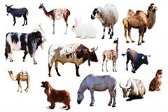 14种草原家畜高清图片