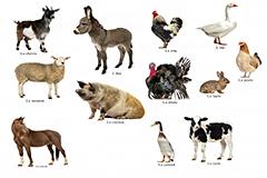 12种常见家禽家畜高清图片