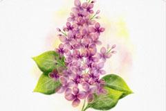 水彩绘紫丁香矢量素材