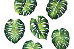 6款绿色龟背竹叶子矢量素材