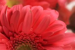 红色非洲菊背景矢量素材