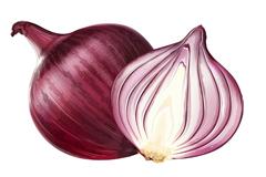 紫皮洋葱和剖面矢量素材
