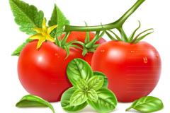 新鲜带花红番茄矢量素材