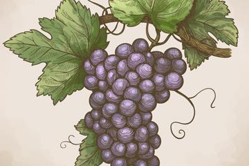 彩绘紫色葡萄矢量素材