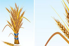 2款金色的麦穗矢量素材