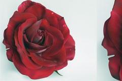 鲜艳欲滴的红玫瑰矢量素材