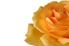 逼真的黄玫瑰矢量素材