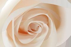 逼真白玫瑰特写矢量素材