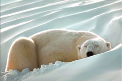 一款AI格式北极熊矢量素材