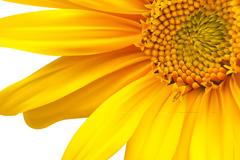 向日葵背景矢量素材