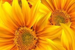 灿烂向日葵矢量素材