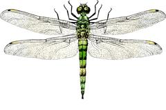 逼真彩绘蜻蜓矢量素材